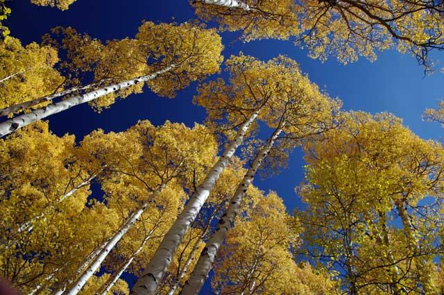 Aspen's atop Grand Mesa