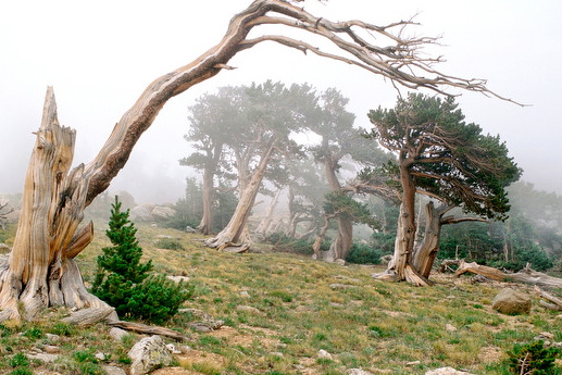 Colorado Climbing Camp, Bristlecone Pine