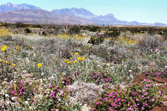 Early spring flowers in February in Big Bend National Park