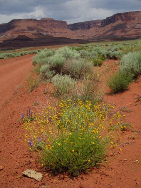 Beautiful desert flowers along the trail on Day 11