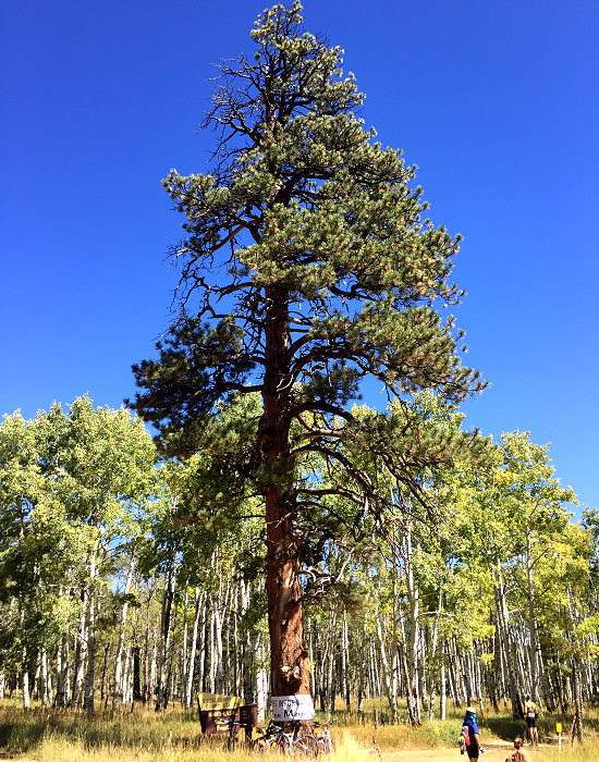 Ponderosa pine in the Abajo Mountains