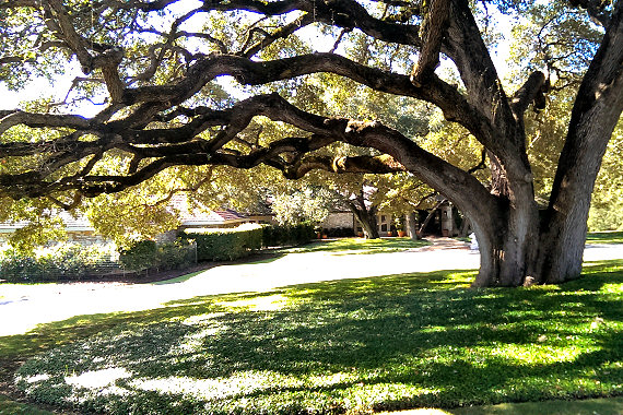 Beautiful oaks abound in Texas Hill Country