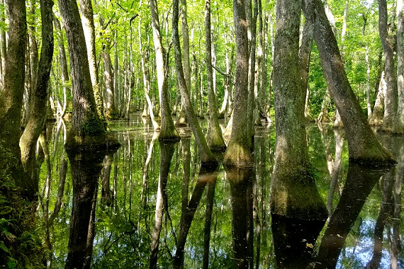 Cypress Swamp with alligators!