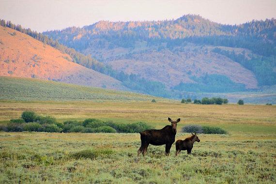 Moose at Arapaho National Wildlife Refuge