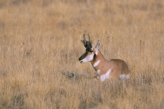 Be on the lookout for pronghorn