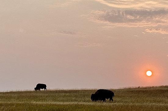 Grazing bison in Badlands National Park